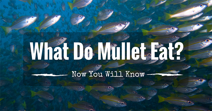 What do Mullet Eat Now You Will Know