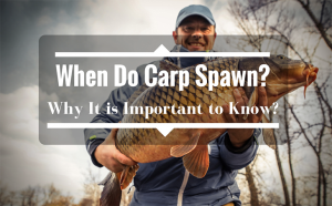 When Do Carp Spawn