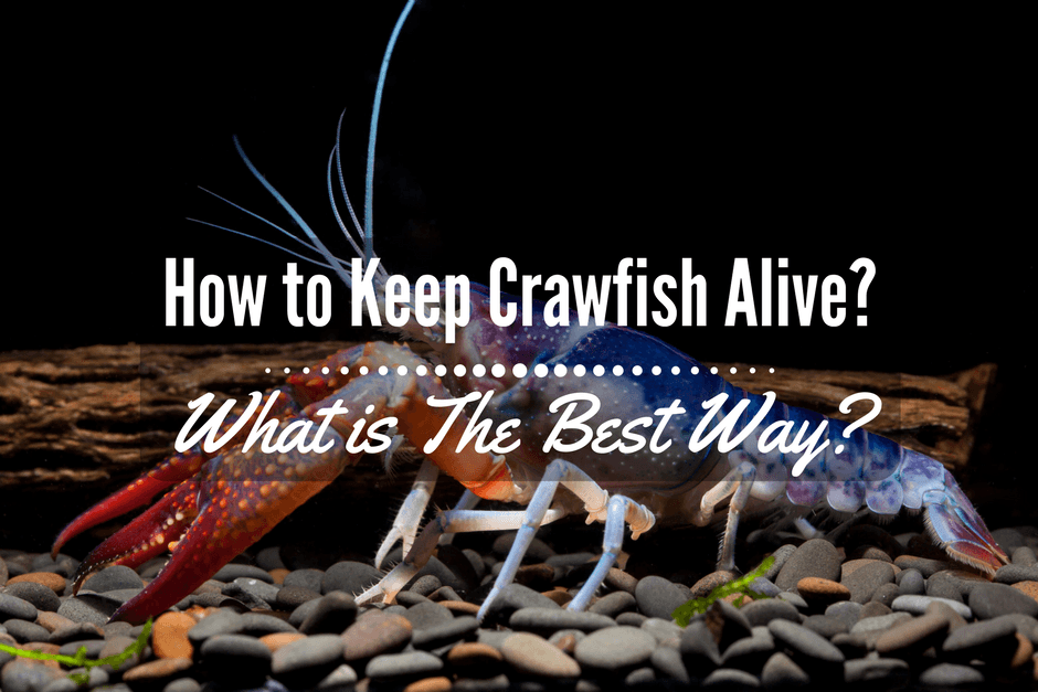 how to keep crawfish alive