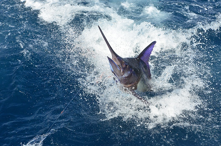 Blue Marlin Fish