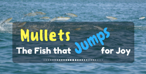 Mullets- The Fish that Jumps for Joy