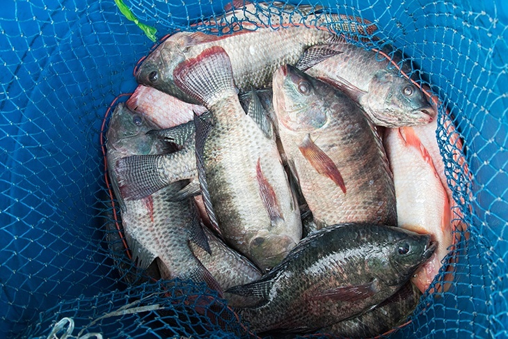 When is The Best Time To Catch Tilapia