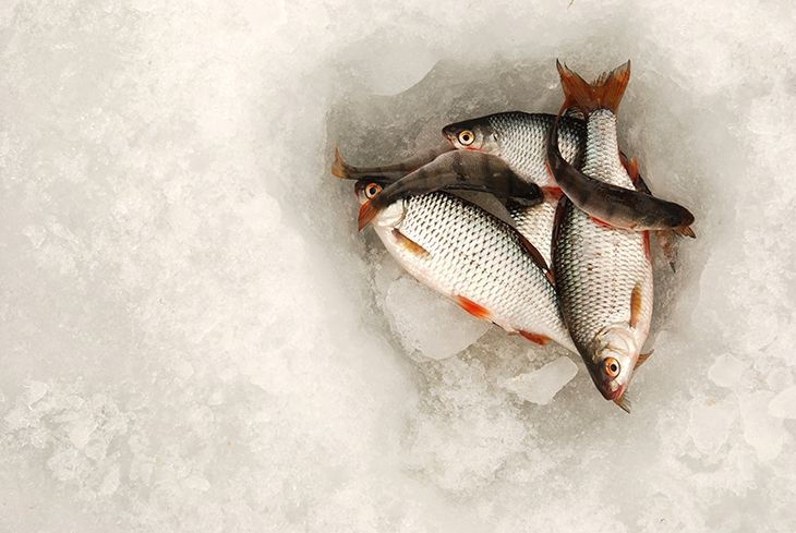 trout, whitefish, and the perch